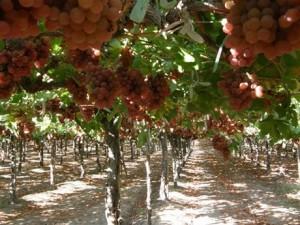peru_grapes
